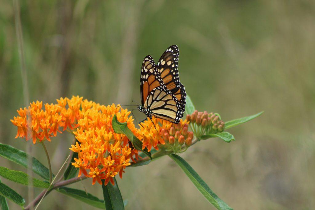 Monarch Health, A Citizen Science Project