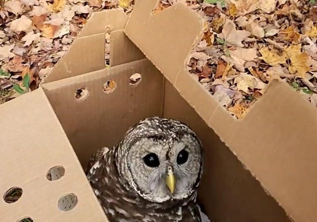 Bennington-Barred-Owl-1080x810