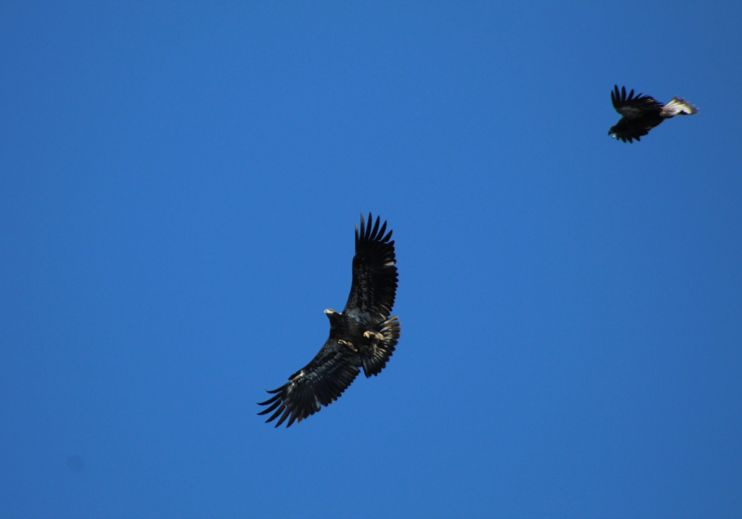 Juvenile Bald Eagles over the watch