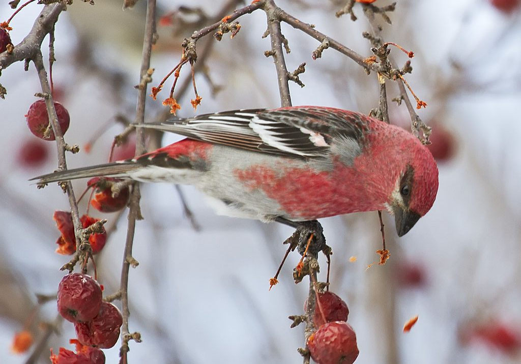 Pine_Grosbeak-252C_Pinicola_enucleator-252C_adult_male.jpg